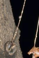 オカダンゴムシ