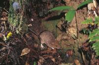 夜間、林床で活動するオキナワトゲネズミ