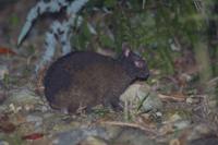 林道に出てきたアマミノクロウサギ