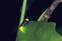 発光するクメジマボタル