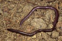 ブラーミニメクラヘビ
