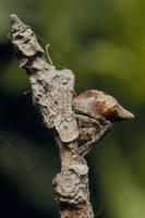 ゲホウグモの幼体