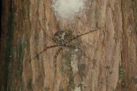 ナガイボグモのメス 成体