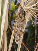 オキナワチビアシナガバチ 多雌創設巣