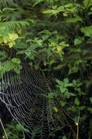 ホシスジオニグモ 雨に濡れた巣とメス成体