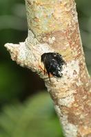 オキナワクマバチ 枯枝に造巣する成虫