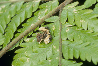 カトウツケオグモ 下草上のメス