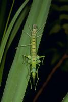 ツダナナフシ アダンの葉で羽化するメス