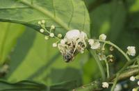 アマミアズチグモ シマイズセンリョウ花上でハチの仲間を捕食