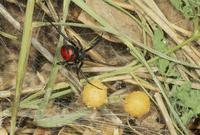 セアカゴケグモ 卵嚢を保護するメス