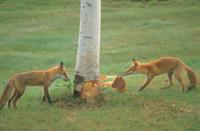 樹皮をはがして遊ぶキタキツネの兄妹 32196000035| 写真素材・ストックフォト・画像・イラスト素材|アマナイメージズ