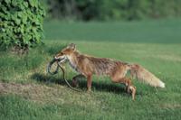 アオダイショウを狩り、子供のいる巣へ運ぶキタキツネの母親 32196000040| 写真素材・ストックフォト・画像・イラスト素材|アマナイメージズ
