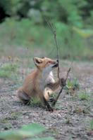 枝をかじって遊ぶキタキツネの子