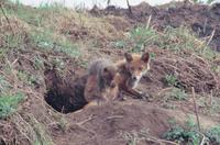 巣穴の前で休息するキタキツネの親子