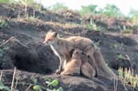 巣穴の前で子に授乳するキタキツネの母親