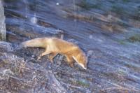 粉雪の中、餌をさがすキタキツネ 32196000170| 写真素材・ストックフォト・画像・イラスト素材|アマナイメージズ