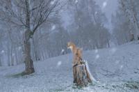 降雪の森で切り株の上に立つキタキツネ 32196000207| 写真素材・ストックフォト・画像・イラスト素材|アマナイメージズ