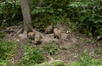 巣穴の前で親の帰りを待つキタキツネの兄弟