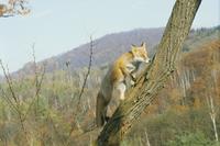 キタキツネ 木に登る 秋