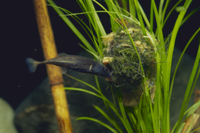 巣作りをするイバラトミヨ(雄物川水系産)