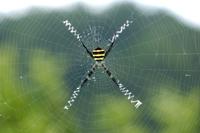 コガネグモの巣(垂直円網) メス