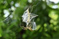 ナガコガネグモに捕食されるオオカマキリの幼虫