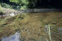 オオアメンボの生息環境