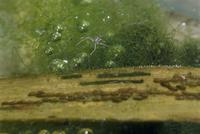 アメンボの卵塊と初齢幼虫