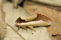 枯れ葉に似たムラサキシャチホコ 32202000042| 写真素材・ストックフォト・画像・イラスト素材|アマナイメージズ