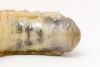 カブトムシの幼虫のオス、メスの見分け方:オス(腹部のVマーク