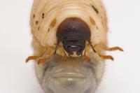 カブトムシの幼虫の頭部
