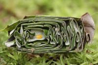 揺籃の中のオトシブミ (ナミオトシブミ)の卵(揺籃断面)