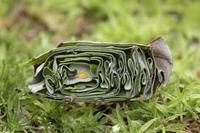 ナミオトシブミの卵(揺籃カット)