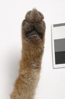 ホンドキツネの幼獣 右側前肢足裏