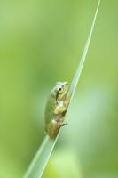イネ科の葉で休むニホンアマガエル(アマガエル)