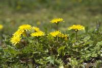 カントウタンポポの花 32203003464| 写真素材・ストックフォト・画像・イラスト素材|アマナイメージズ