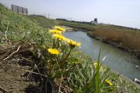 シロバナタンポポを交えた雑種のタンポポの花