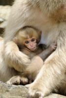 母猿に抱かれ乳を吸う小猿