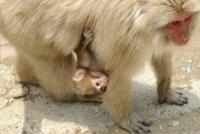 母猿の腹にぶら下がって移動する小猿