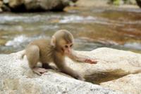 水遊びをする小猿