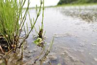 田の草の陰に隠れ 水面から頭だけ出して獲物を待つアマガエル