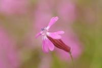 シレネ(フクロナデシコ)の花