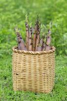 カゴに収穫した淡竹のタケノコ