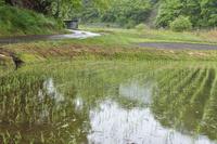 田植えを終え苗が並んだ畝に しとしと恵みの雨が降る。