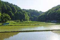田植えを終えて 緑が広がる谷戸の水田