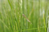 畦のイネ科植物の葉にとまるオツネントンボ