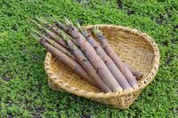 淡竹のタケノコの収穫 ザルの上で