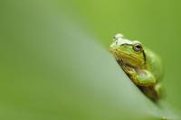 画面を緑一色に染める大きな葉っぱに乗ったアマガエル