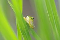 稲の葉の影からアマガエルの挨拶