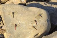 晩秋陽に温まった石に密着して寒さに耐えるアキアカネの群れ